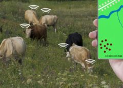 iot cows